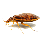 Bed bug Siem Reap pest control