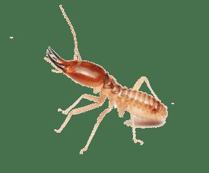 Termites extermination Cambodia